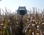 zbior-kukurydzy-na-ziarno-2